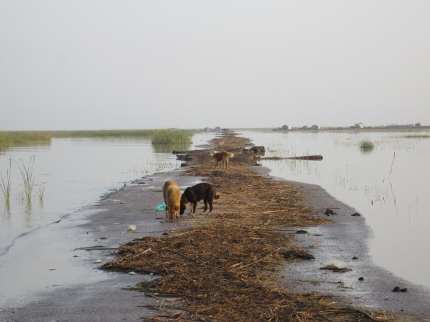 Sadam's marsh road, now thoroughly shat on by water buffalo and gnawed at by dogs