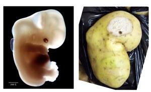 Ill-omened potato foetus